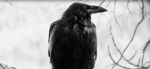 The Poetry of Crows