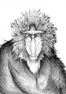 Baboon drawing by Kasia Posen