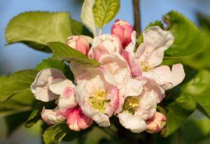 Blossom. Early May
