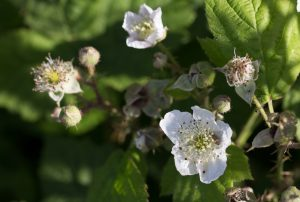 Brambles in flower plus Shield bug