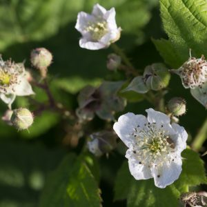 Brambles in flower plus Shield bug