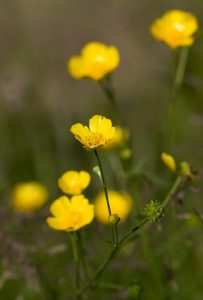 Buttercup s close up