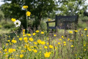 Buttercups and bench