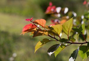 Coloured foliage