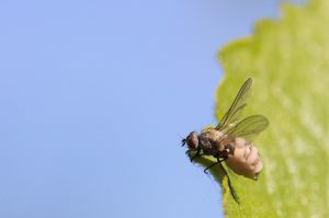 Fly on Mulberry tree