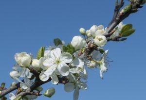 Gage blossom 180418