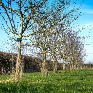 Tree row lr