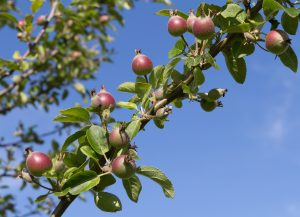 Young red apples