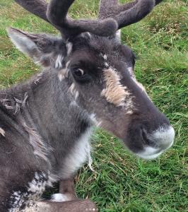 Reindeer close-up