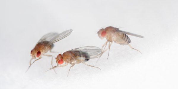 little fruit flies