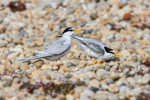 Little terns image